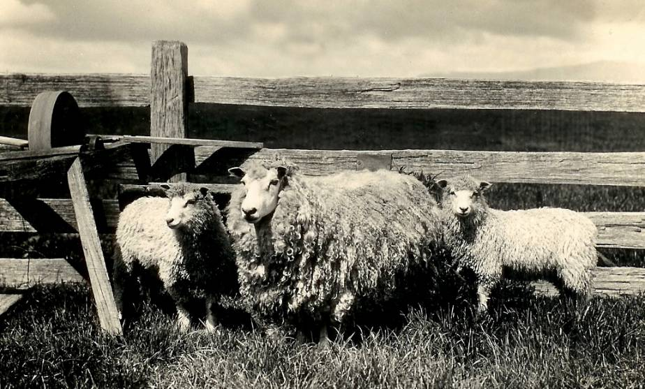 heritage_sheep_australia_main_photo_edited.jpg